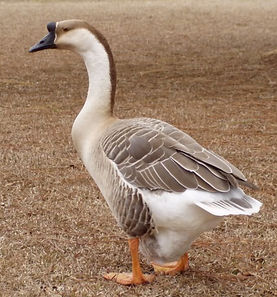 Brown Chinese Geese, Chicks, Pullets and Hens For Sale in New Jersey