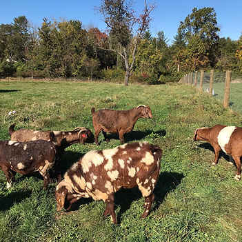 New Jersey Lavender Farm, Boer Goat Breeders in New Jersey, Natural Raw Honey New Jersey, Family-friendly Farm Visits in New Jersey, Chicks, Pullets and Hens For Sale in New Jersey