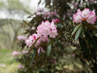 石楠花咲きました