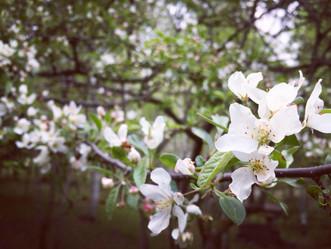 こなしの木の花