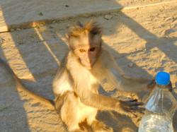 Monkeys, Hampi