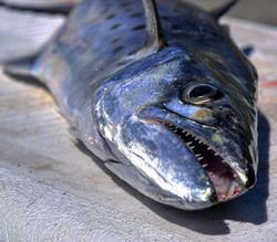Caught on Team Tybee Kayak Fishing C
