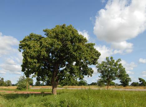 Karite Tree - Clearfree