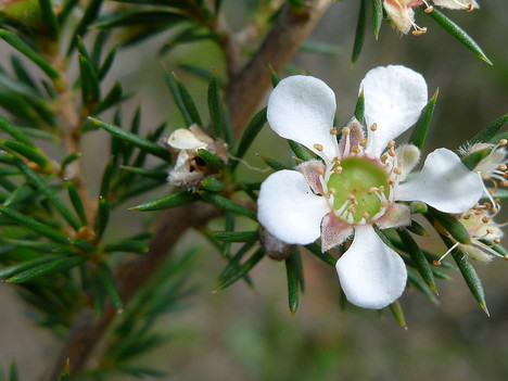 10 Surprising Benefits Of Manuka Essential Oil