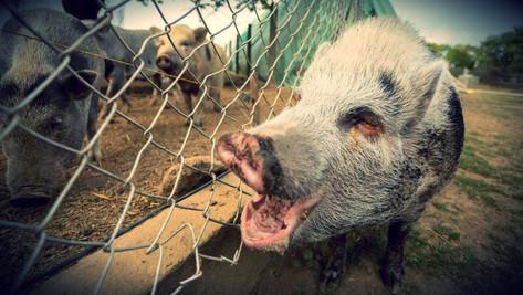 Peste porcine: provoquée par le virus d'un labo américain ?