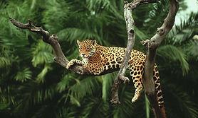 _Amazon_jaguar.jpg