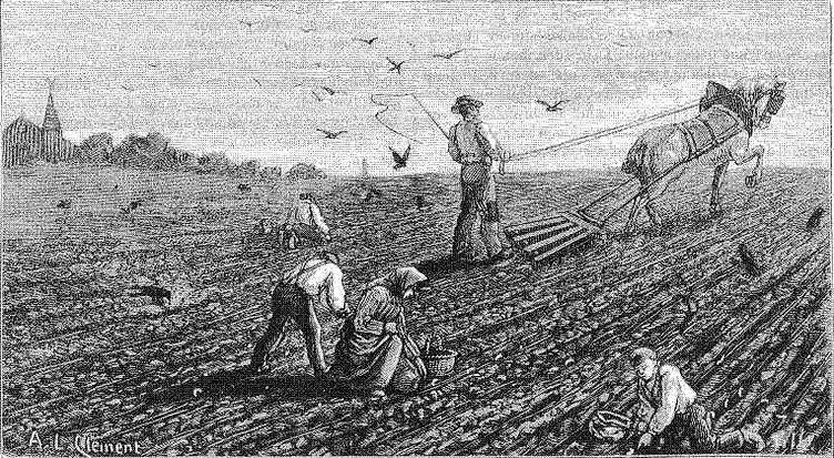 La chasse aux hannetons dans les champs
