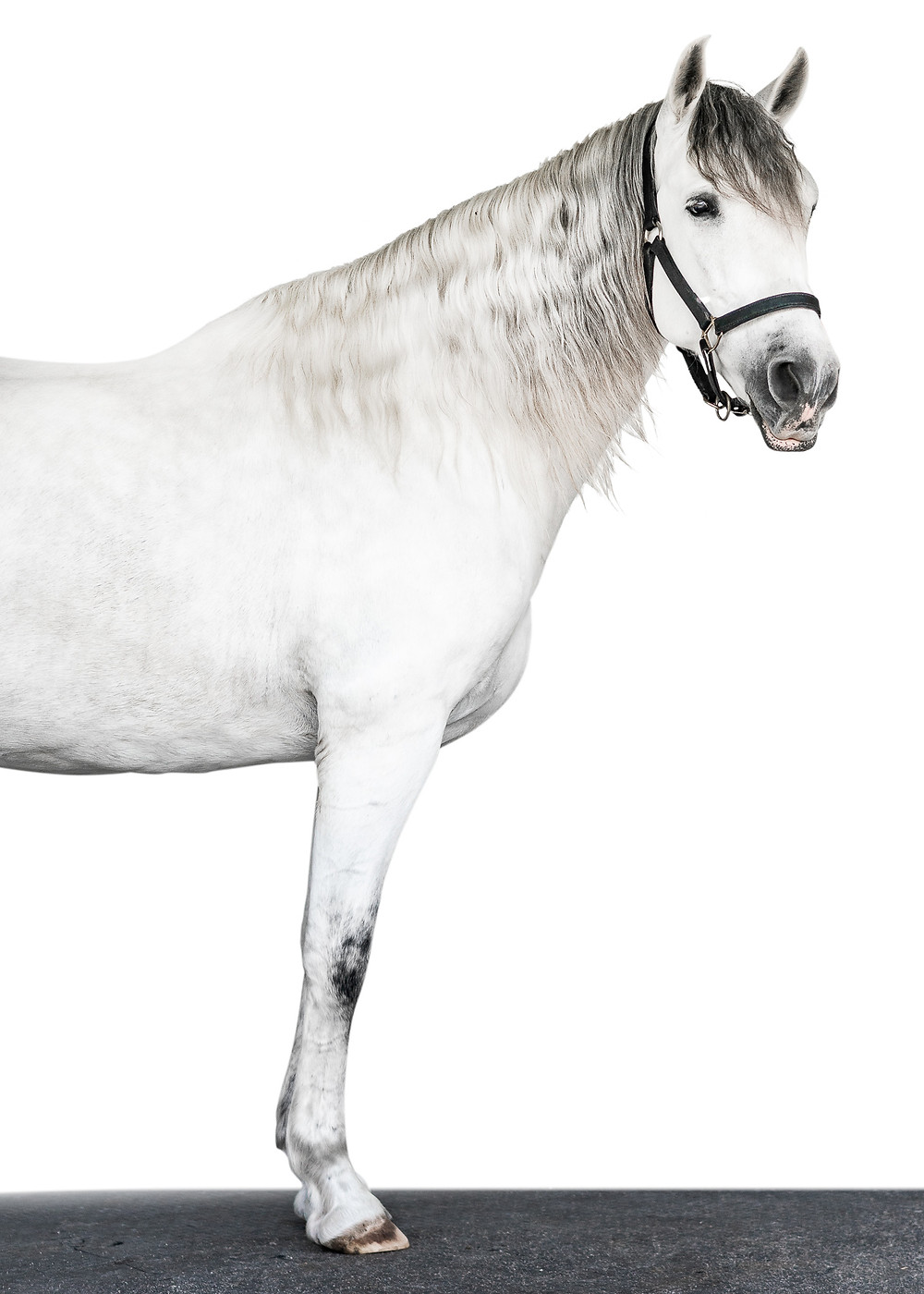 a white Andalusian gelding on a white background