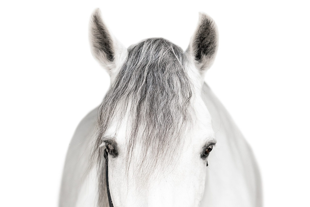 white andalusian gelding staring at the camera straight on, on a white background