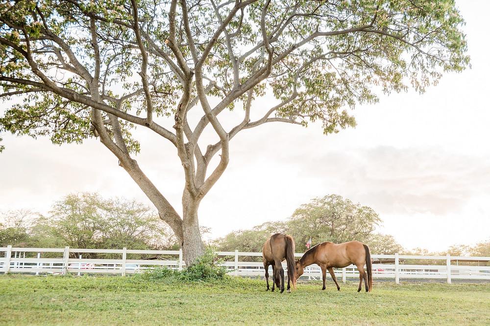 Rocky and Tucker grazing under a monkey pod tree in Kapolei, HI