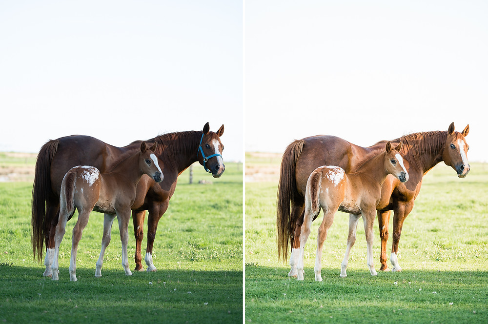 Before and after of an Appaloosa mare and foal in Warden, WA