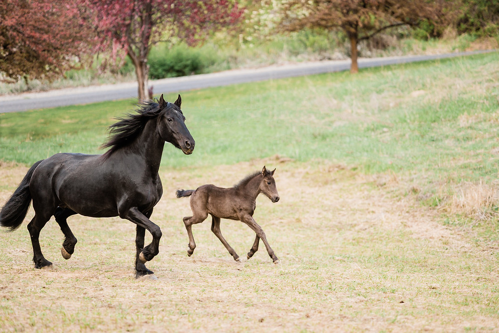 Sabrine and her filly jogging through the pasture