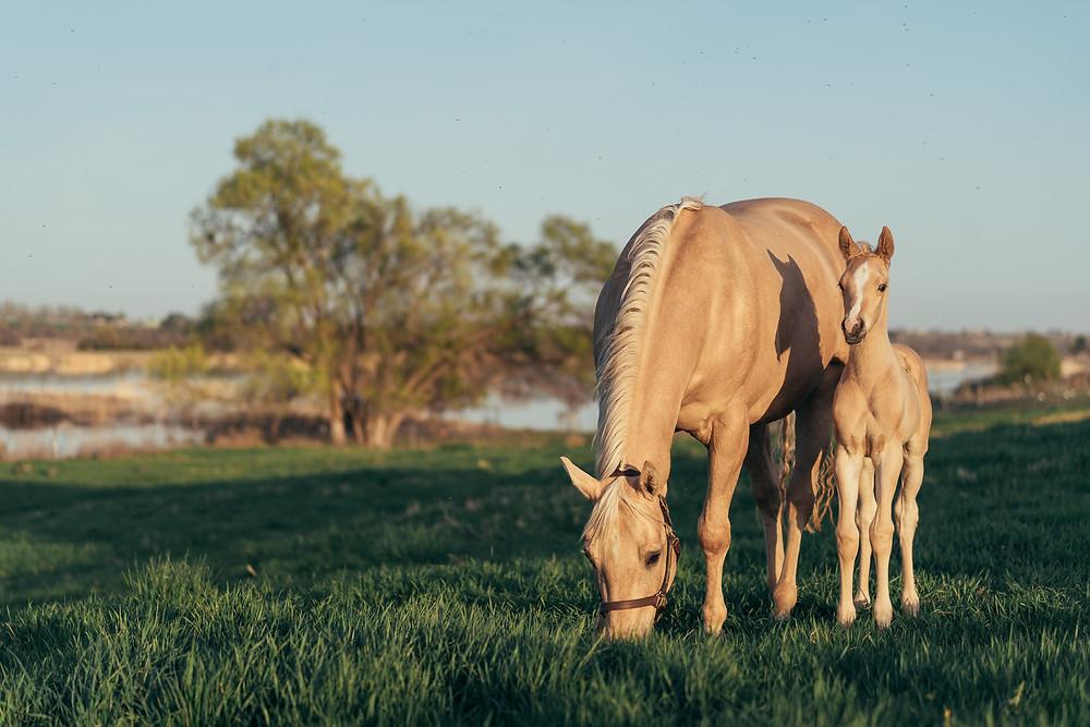 palomino quarter horses