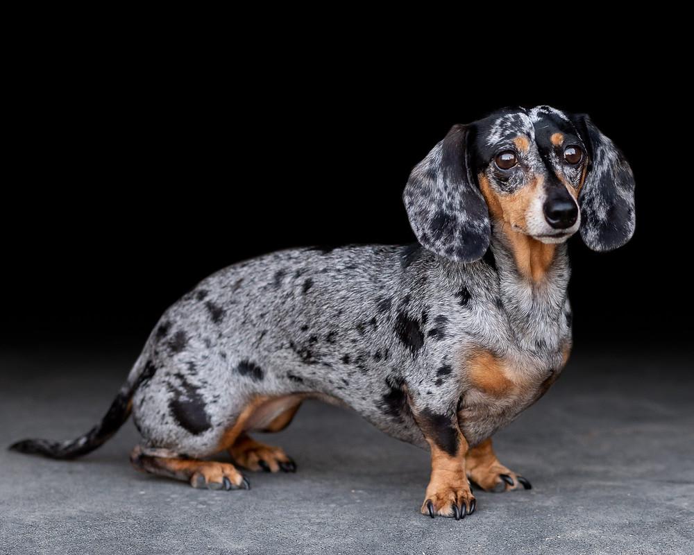 Fine art portrait of Lucy, Chloe's dachshund