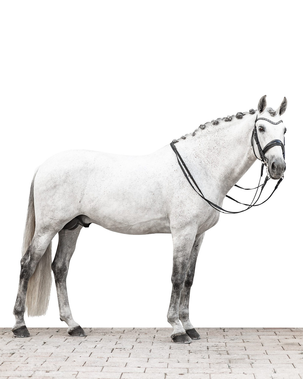 A white background full body shot of Stu, a grey Andalusian stallion with braids and his dressage bridle on