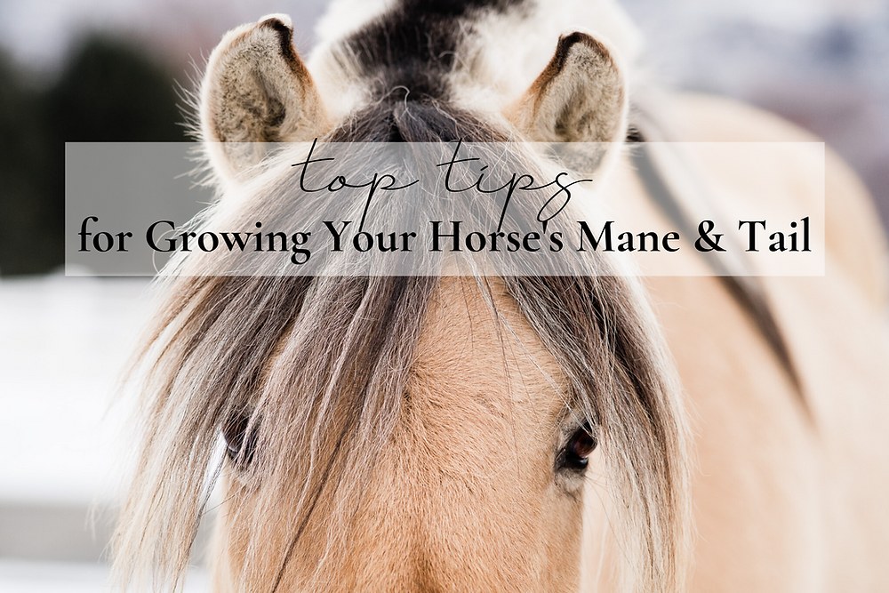 Fjord horse with long forelock