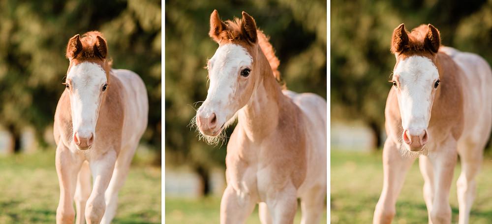 Marli, a Kissin The Girls APHA foal