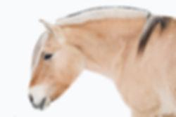 a fjord horse on white background | Wenatchee WA