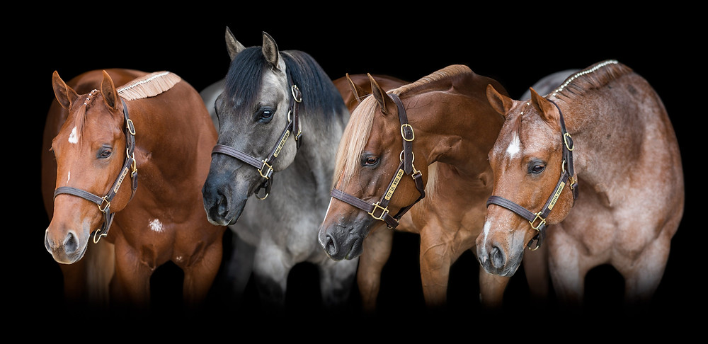 a black background composite of Caitlin's 4 horses, Ava, Slyd, Whizzy, and Olivia