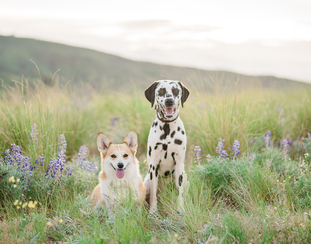 Phoebe the corgi and Penny the dalmatian in Wenatchee