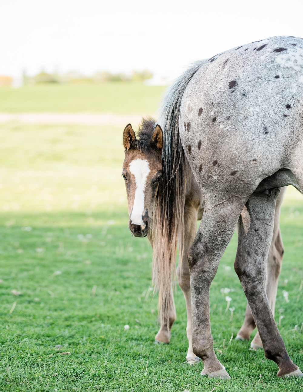 A lazy loper appaloosa foal with his mother, standing under her tail