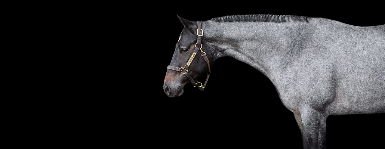 a blue roan quarter horse on a black background