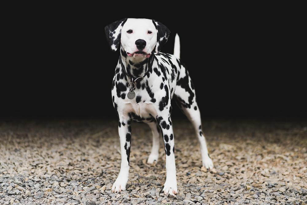 Fine Art Canine Portrait