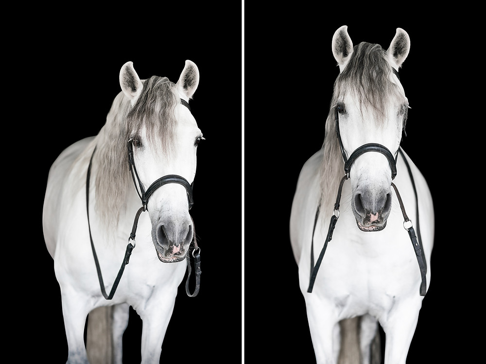 an Andalusian gelding on black background