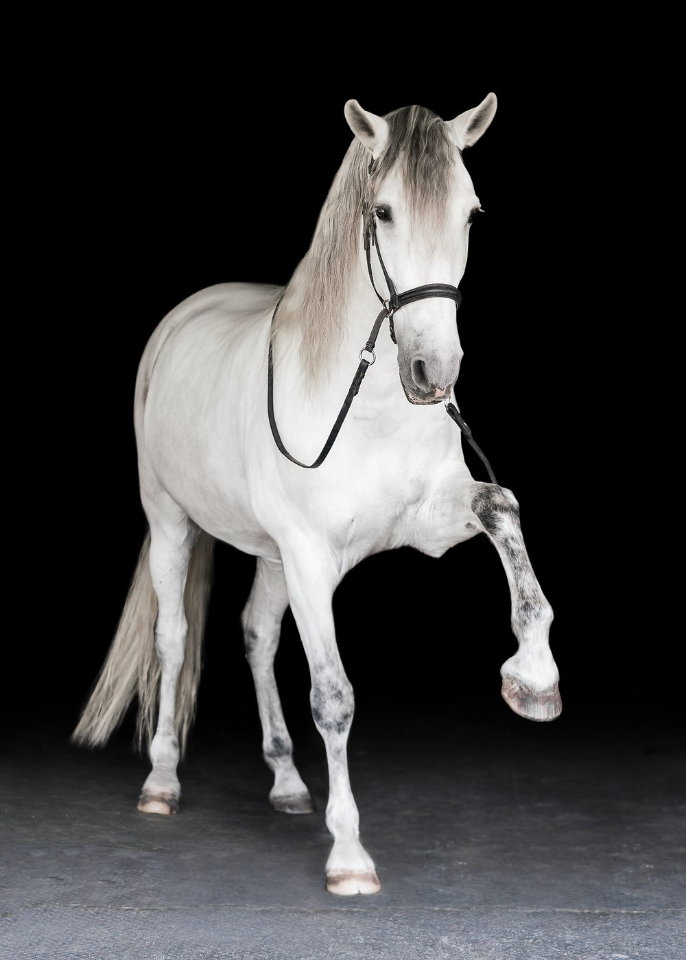 an andalusian doing the Spanish walk on a black background