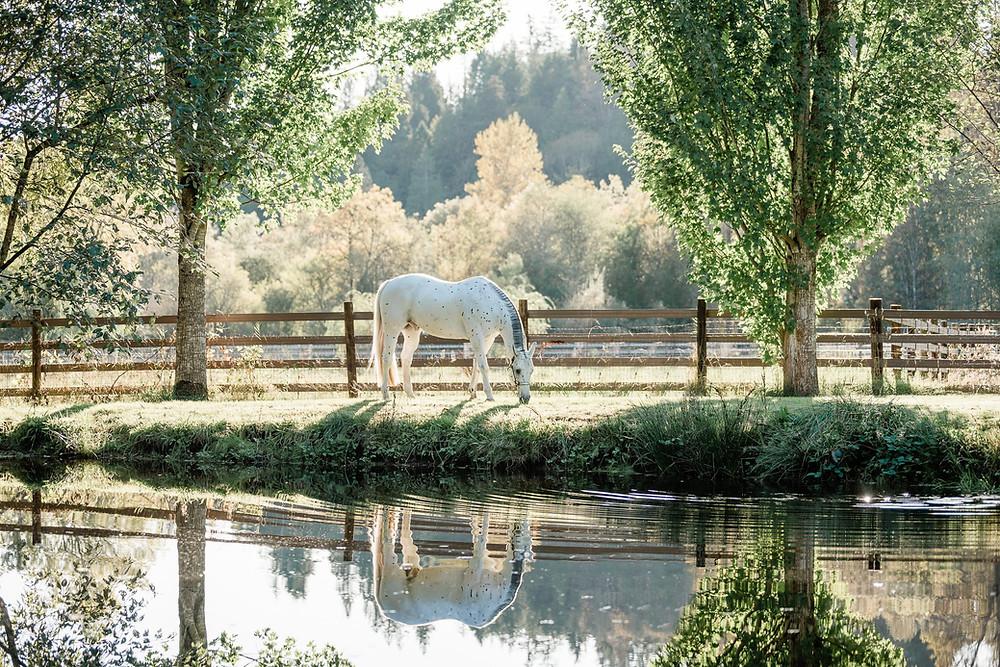 appaloosa horse, pond reflection, Issaquah Washington, Capstone Farm