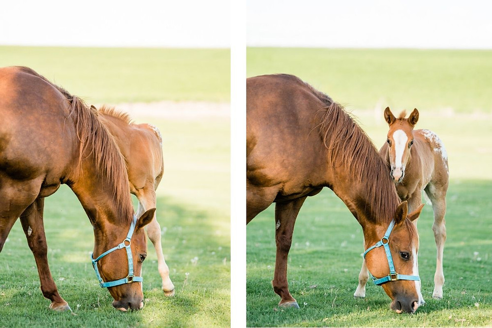 a foal being playful, playing peekaboo with the photographer