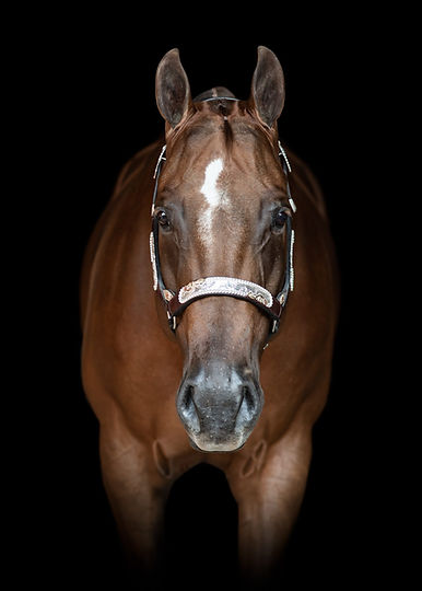 Chestnut mare quarter horse looking straight at the camera with a showmanship halter on