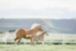 a palomino mare and foal running in their pasture | Othello, WA