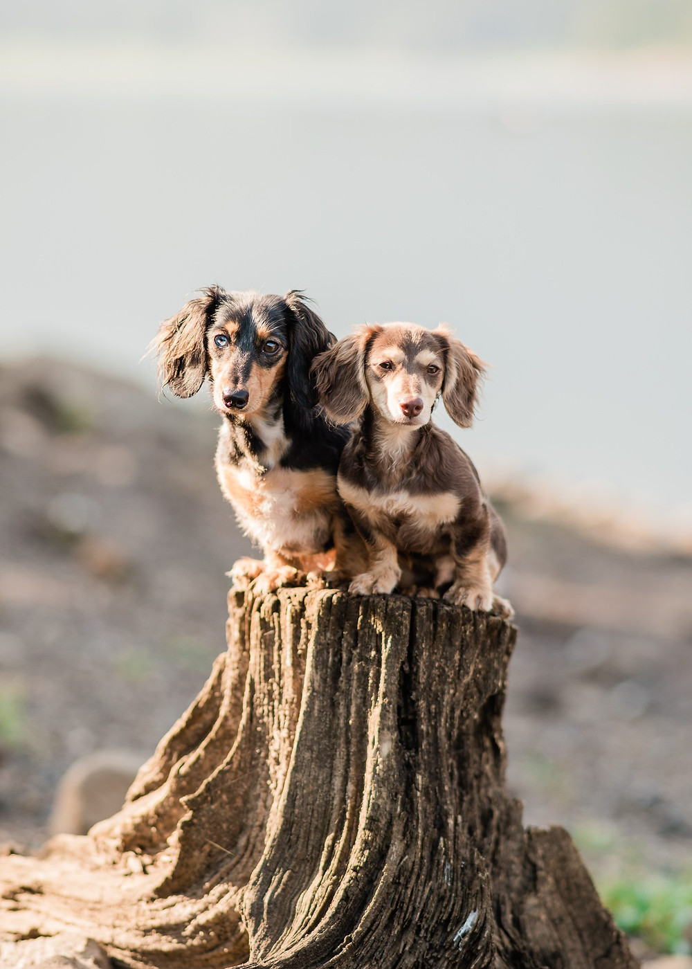 Bonnie & Clyde, Katie's weiner dog pups, sitting on a stump at Hyalite Canyon