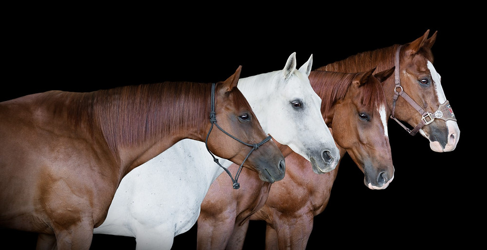 a black background portrait of all 4 of Bailey's horses