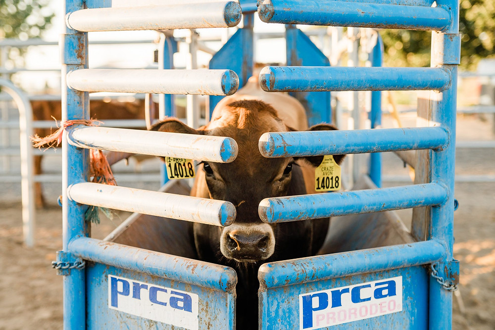 The steer in the chute