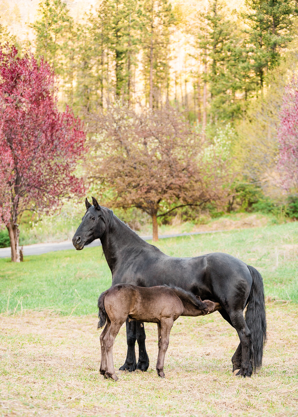 Friesian filly nursing off of her mother, Sabrine