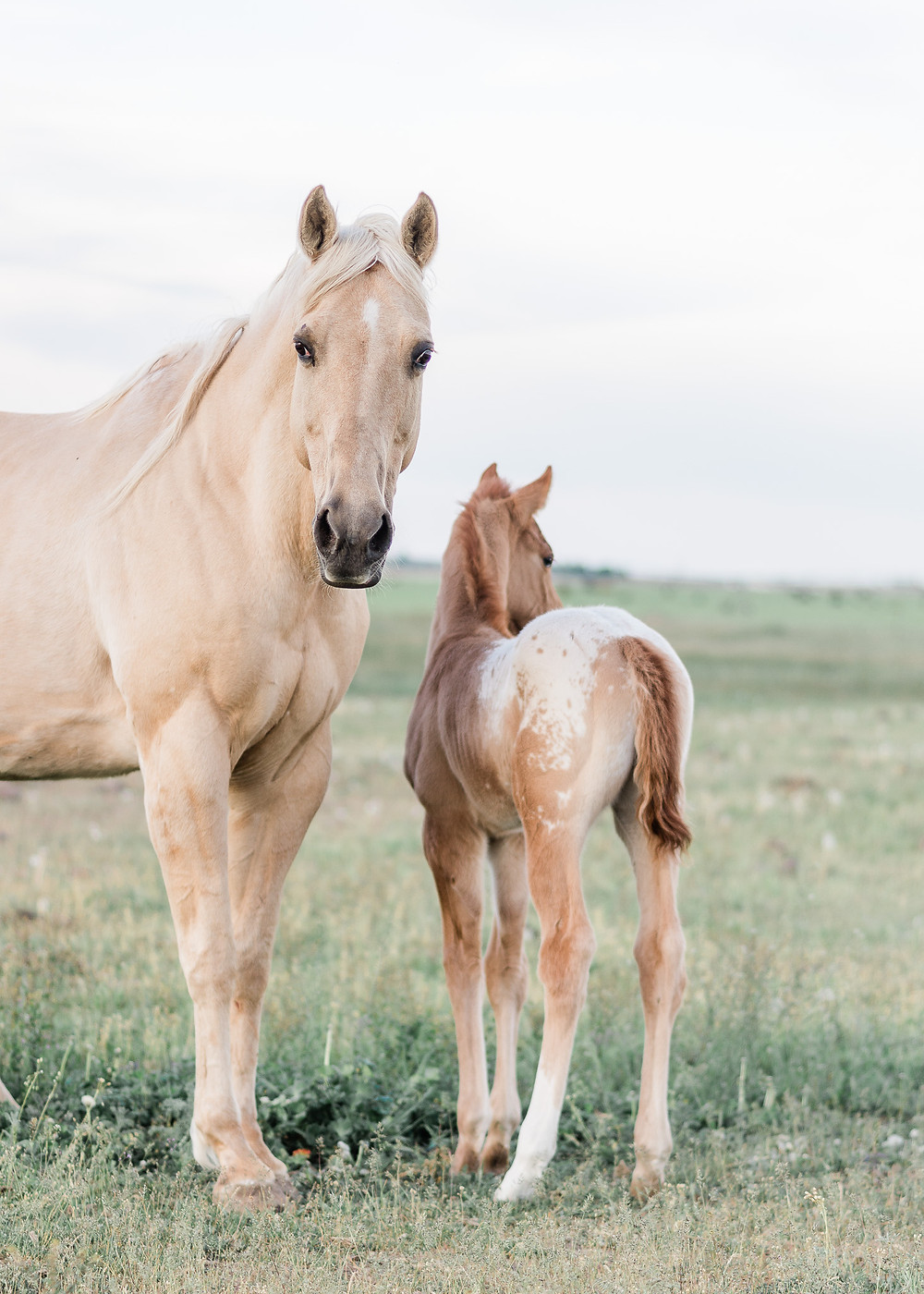 appaloosa foal and mother