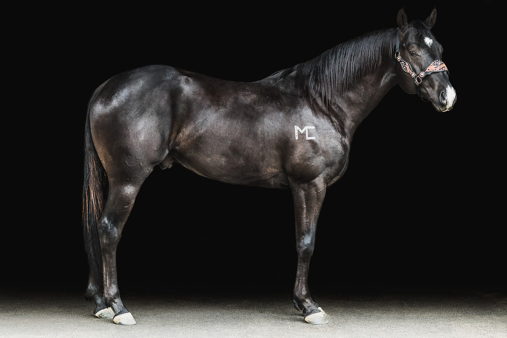 Barrel racing stallion