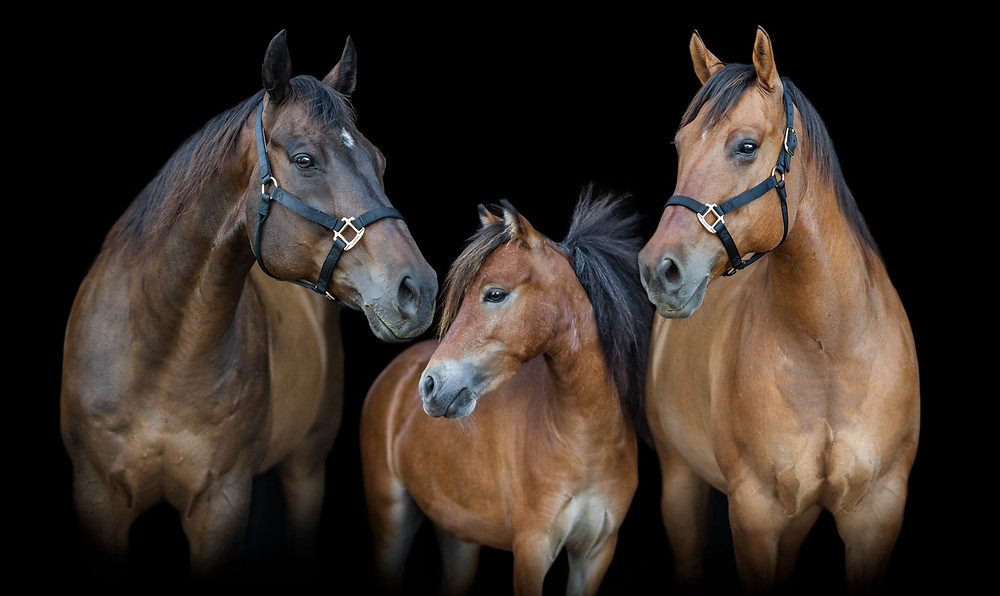 a black background of Lindsey's horses, Rocky and Tucker, and her mini, Pepe