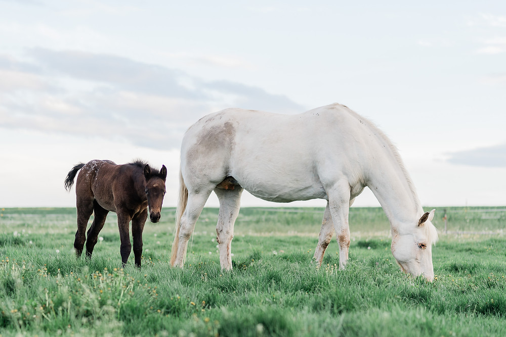appaloosa mare and foal grazing