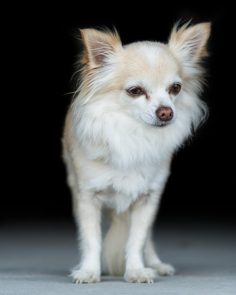 Fine Art Canine Portrait | Calvin
