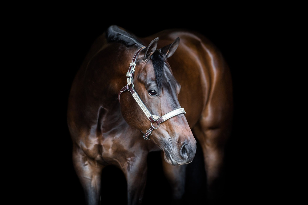 a black background shot of Almost Invited, a seal bay AQHA gelding