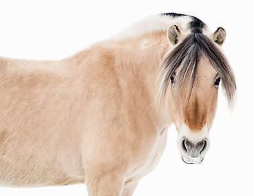 Fjord horse looking straight at the camera on a white background