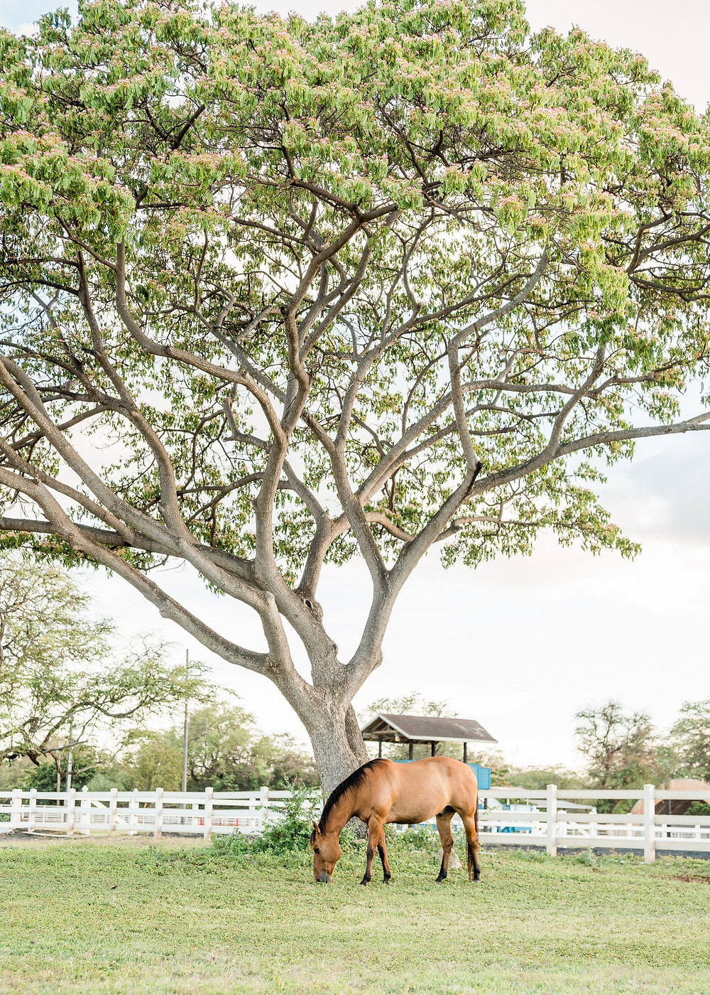 Rocky, Lindsey's dun quarter horse, grazing under the monkey pod tree in Kapolei, Hawaii