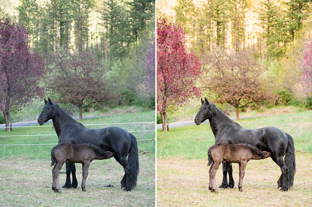 Before and after of a mare and foal in Cashmere, WA