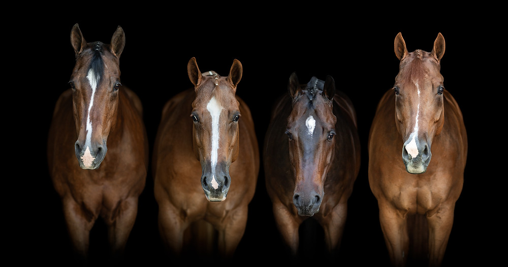 A fine art equine portrait of all four horses together