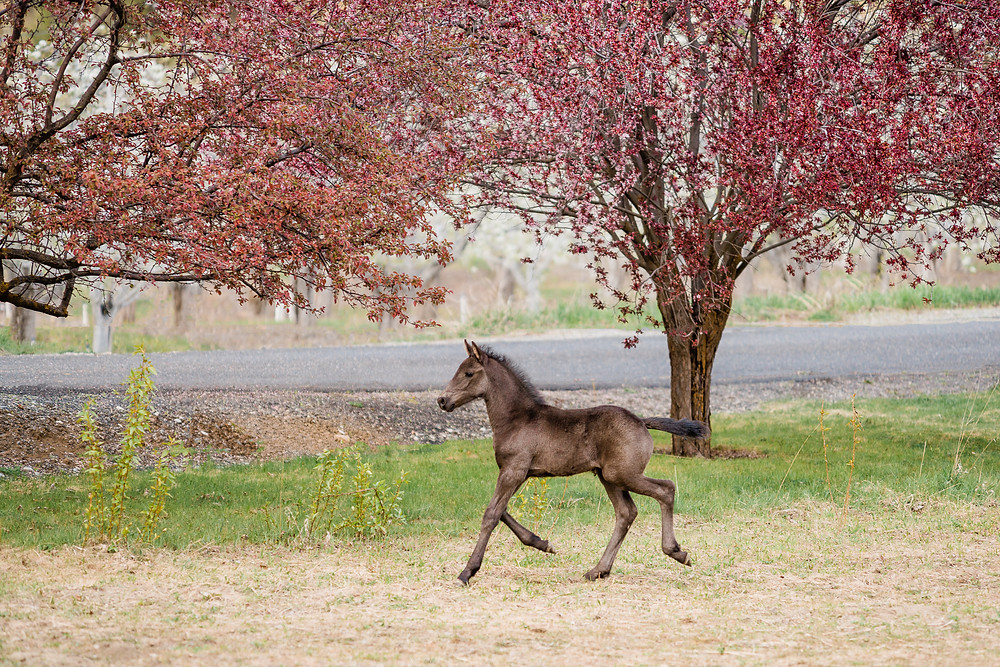 Friesian filly jogging in the pasture with pink trees