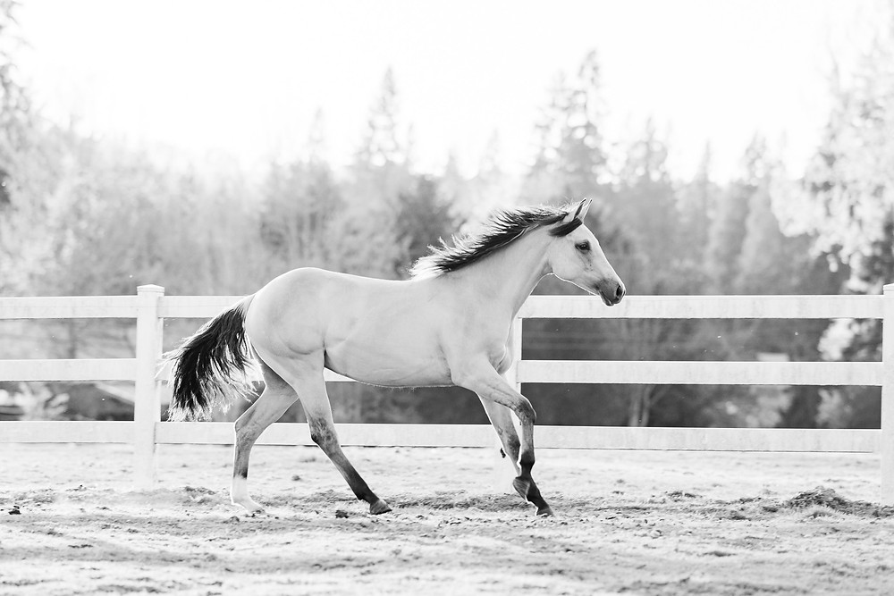 black and white image of Bella loping at sunset in the pasture at Triple L Ranch in Snohomish