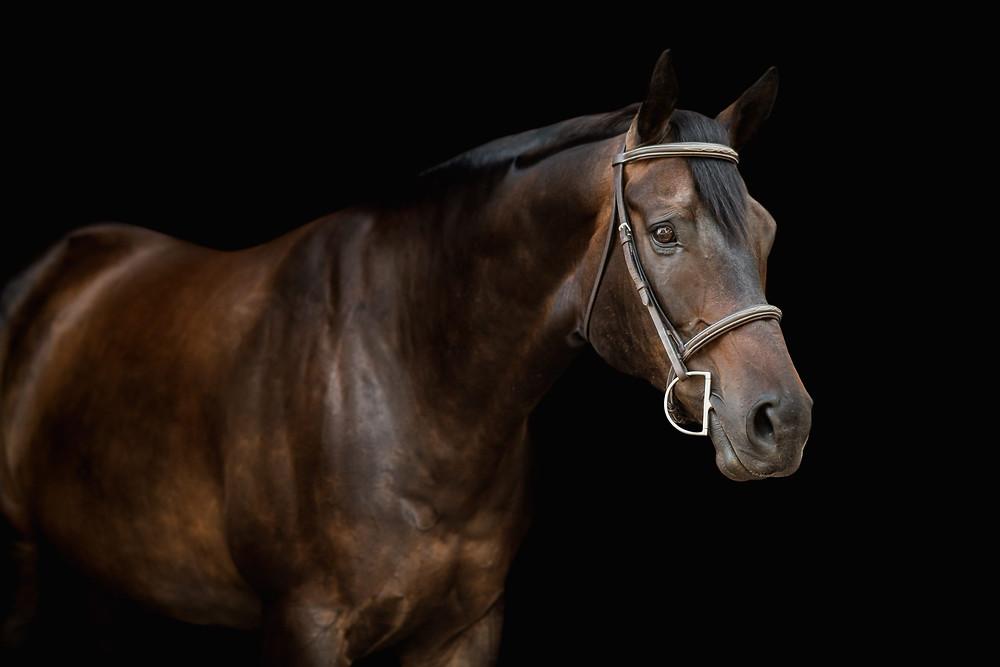 a black background image of Cooper, a big bay quarter horse gelding